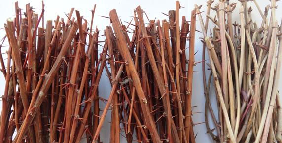 Inmultirea foioaselor prin butasire dreamgardens - Plantarea lemnului cainesc ...