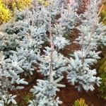 Picea Pungens Hopsii -60cm, 95 lei, TVA inlcus