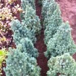 Picea Glauca Conica - 60cm, 65 lei, TVA inlclus