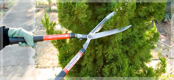 tunderi-conifere