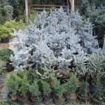 Molid Picea Hoopsii