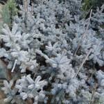 Molid Argintiu Picea