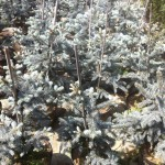 Molid argintiu - Picea Pungens