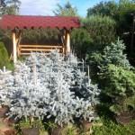 Molid Argintiu ghiveci