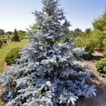 Picea-pungens-Hoopsii-Molid argntiu