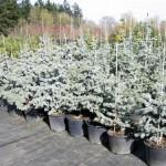 Molid Argintiu - Picea Pungens Hopsii