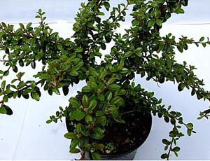 COTONEASTER BARCOACE