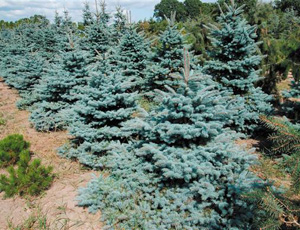 Picea Pungens Koster