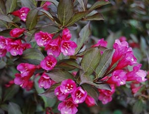 weigela florida weigela florida nana purpurea dreamgardens. Black Bedroom Furniture Sets. Home Design Ideas